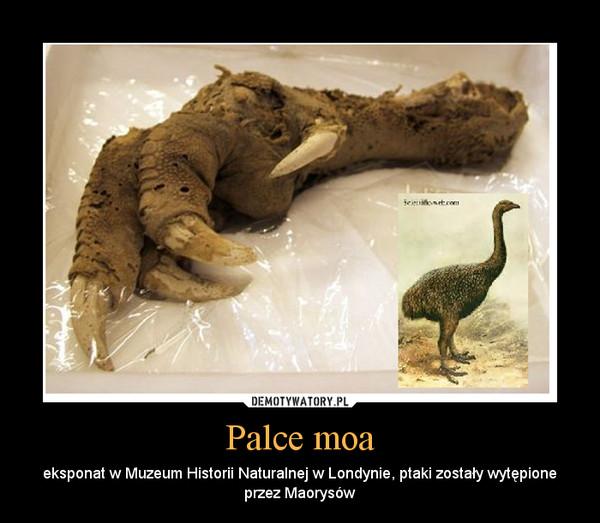 Palce moa – eksponat w Muzeum Historii Naturalnej w Londynie, ptaki zostały wytępione przez Maorysów