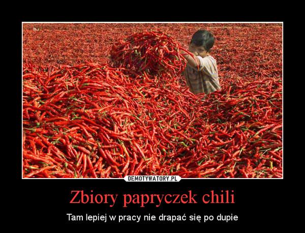 Zbiory papryczek chili – Tam lepiej w pracy nie drapać się po dupie