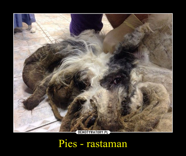 Pies - rastaman –
