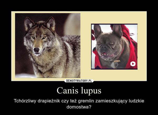 Canis lupus – Tchórzliwy drapieżnik czy też gremlin zamieszkujący ludzkie domostwa?