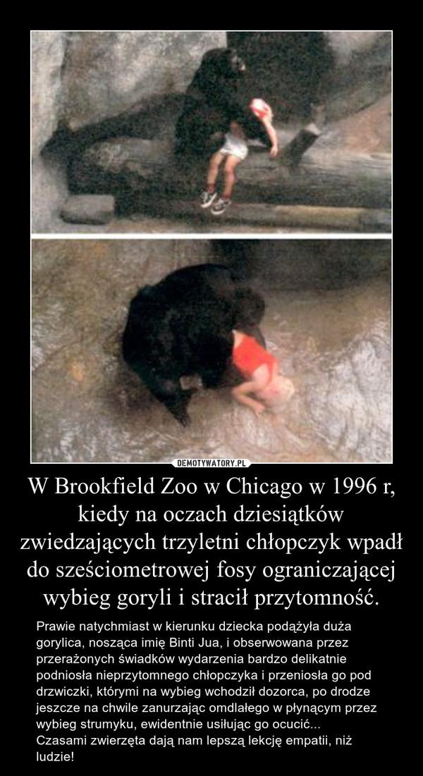 W Brookfield Zoo w Chicago w 1996 r, kiedy na oczach dziesiątków zwiedzających trzyletni chłopczyk wpadł do sześciometrowej fosy ograniczającej wybieg goryli i stracił przytomność. – Prawie natychmiast w kierunku dziecka podążyła duża gorylica, nosząca imię Binti Jua, i obserwowana przez przerażonych świadków wydarzenia bardzo delikatnie podniosła nieprzytomnego chłopczyka i przeniosła go pod drzwiczki, którymi na wybieg wchodził dozorca, po drodze jeszcze na chwile zanurzając omdlałego w płynącym przez wybieg strumyku, ewidentnie usiłując go ocucić...Czasami zwierzęta dają nam lepszą lekcję empatii, niż ludzie!