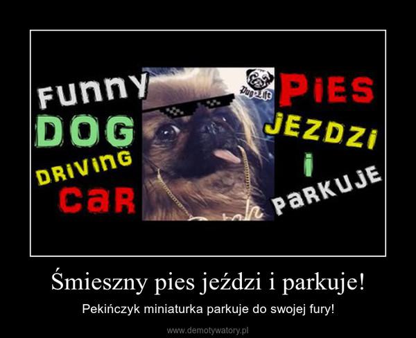 Śmieszny pies jeździ i parkuje! – Pekińczyk miniaturka parkuje do swojej fury!
