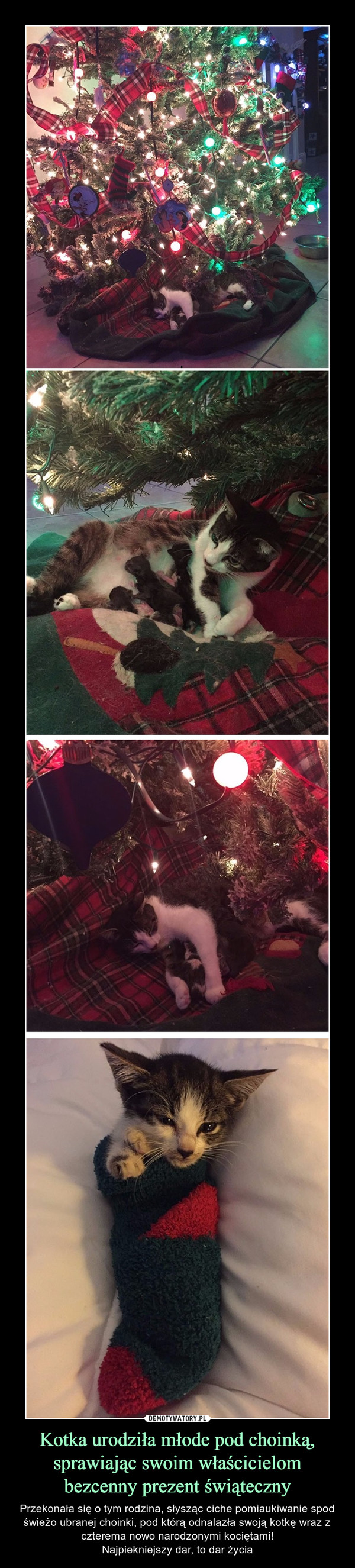 Kotka urodziła młode pod choinką, sprawiając swoim właścicielom bezcenny prezent świąteczny – Przekonała się o tym rodzina, słysząc ciche pomiaukiwanie spod świeżo ubranej choinki, pod którą odnalazła swoją kotkę wraz z czterema nowo narodzonymi kociętami!Najpiekniejszy dar, to dar życia