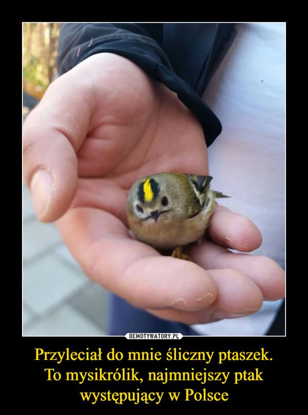 Przyleciał do mnie śliczny ptaszek.To mysikrólik, najmniejszy ptak występujący w Polsce –