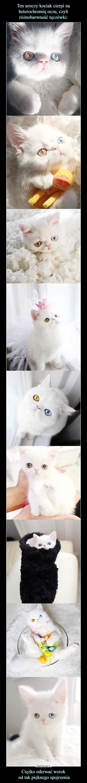 Ten uroczy kociak cierpi na heterochromię oczu, czyli różnobarwność tęczówki: Ciężko oderwać wzrok  od tak pięknego spojrzenia