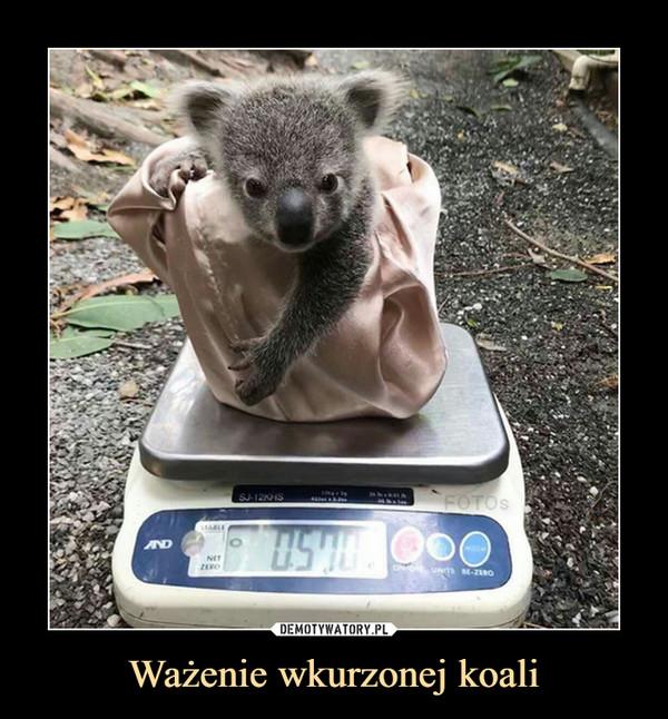 Ważenie wkurzonej koali –