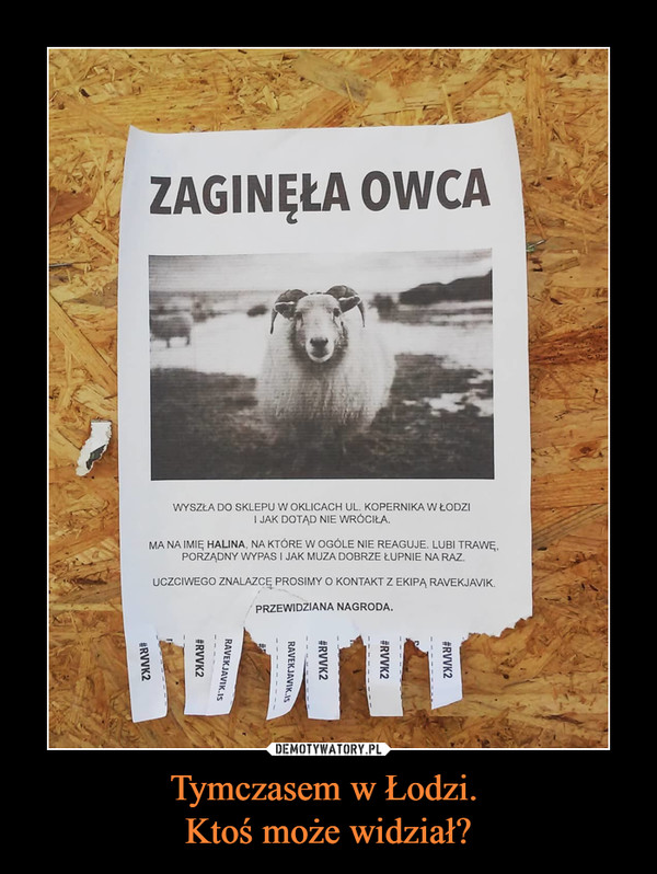 Tymczasem w Łodzi. Ktoś może widział? –  zaginęła owca