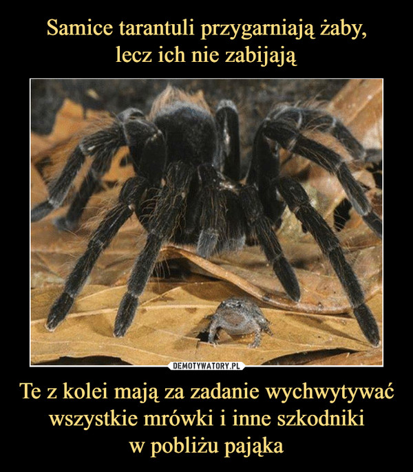 Te z kolei mają za zadanie wychwytywać wszystkie mrówki i inne szkodnikiw pobliżu pająka –