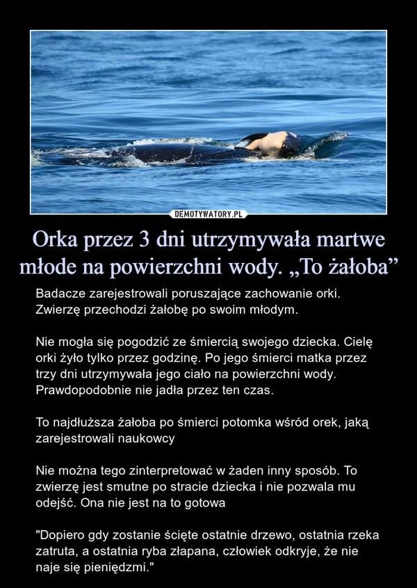 """Orka przez 3 dni utrzymywała martwe młode na powierzchni wody. """"To żałoba"""" – Badacze zarejestrowali poruszające zachowanie orki. Zwierzę przechodzi żałobę po swoim młodym.Nie mogła się pogodzić ze śmiercią swojego dziecka. Cielę orki żyło tylko przez godzinę. Po jego śmierci matka przez trzy dni utrzymywała jego ciało na powierzchni wody. Prawdopodobnie nie jadła przez ten czas.To najdłuższa żałoba po śmierci potomka wśród orek, jaką zarejestrowali naukowcyNie można tego zinterpretować w żaden inny sposób. To zwierzę jest smutne po stracie dziecka i nie pozwala mu odejść. Ona nie jest na to gotowa""""Dopiero gdy zostanie ścięte ostatnie drzewo, ostatnia rzeka zatruta, a ostatnia ryba złapana, człowiek odkryje, że nie naje się pieniędzmi."""""""