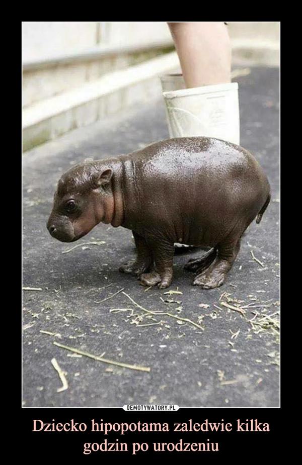 Dziecko hipopotama zaledwie kilka godzin po urodzeniu –
