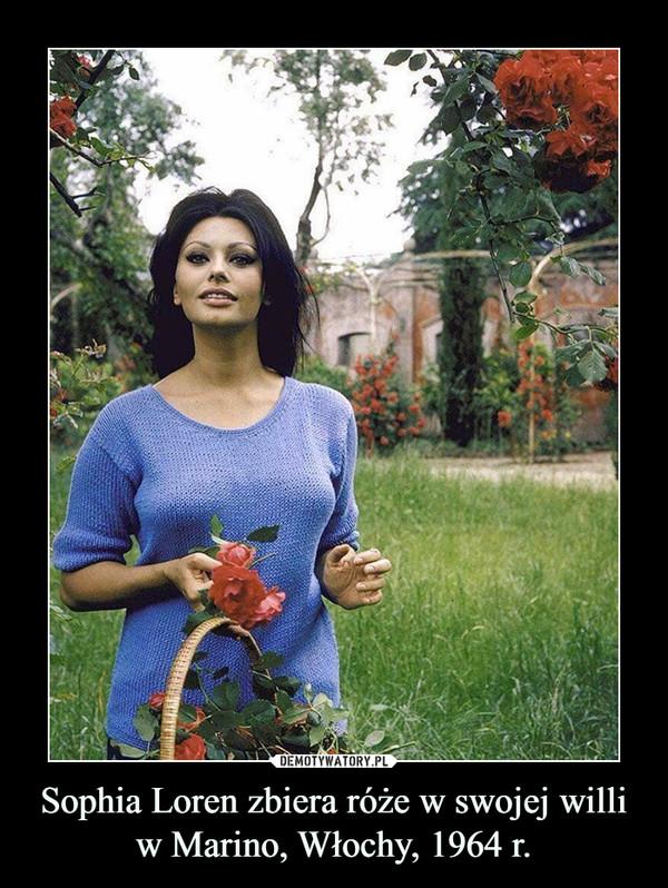 Sophia Loren zbiera róże w swojej willi w Marino, Włochy, 1964 r. –