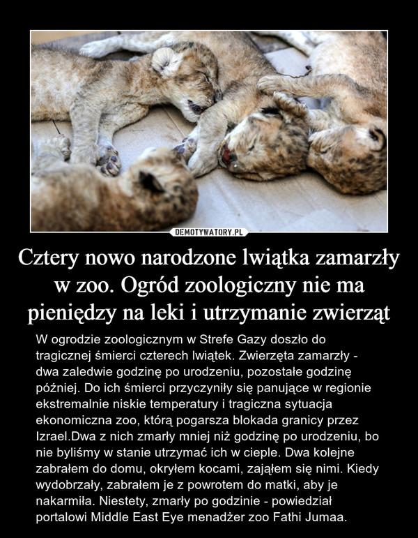 Cztery nowo narodzone lwiątka zamarzły w zoo. Ogród zoologiczny nie ma pieniędzy na leki i utrzymanie zwierząt – W ogrodzie zoologicznym w Strefe Gazy doszło do tragicznej śmierci czterech lwiątek. Zwierzęta zamarzły - dwa zaledwie godzinę po urodzeniu, pozostałe godzinę później. Do ich śmierci przyczyniły się panujące w regionie ekstremalnie niskie temperatury i tragiczna sytuacja ekonomiczna zoo, którą pogarsza blokada granicy przez Izrael.Dwa z nich zmarły mniej niż godzinę po urodzeniu, bo nie byliśmy w stanie utrzymać ich w cieple. Dwa kolejne zabrałem do domu, okryłem kocami, zająłem się nimi. Kiedy wydobrzały, zabrałem je z powrotem do matki, aby je nakarmiła. Niestety, zmarły po godzinie - powiedział portalowi Middle East Eye menadżer zoo Fathi Jumaa.