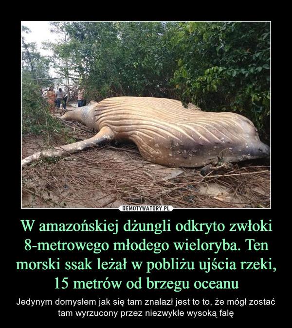 W amazońskiej dżungli odkryto zwłoki 8-metrowego młodego wieloryba. Ten morski ssak leżał w pobliżu ujścia rzeki, 15 metrów od brzegu oceanu – Jedynym domysłem jak się tam znalazł jest to to, że mógł zostać tam wyrzucony przez niezwykle wysoką falę