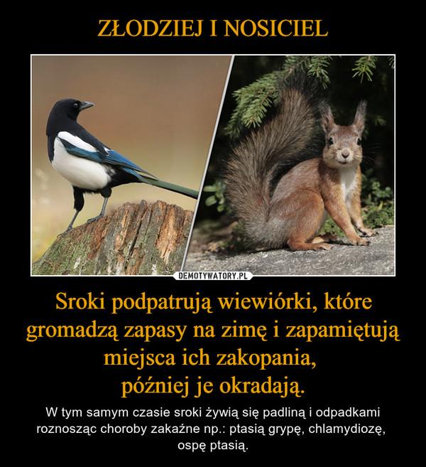 Sroki podpatrują wiewiórki, które gromadzą zapasy na zimę i zapamiętują miejsca ich zakopania, później je okradają. – W tym samym czasie sroki żywią się padliną i odpadkami roznosząc choroby zakaźne np.: ptasią grypę, chlamydiozę, ospę ptasią.
