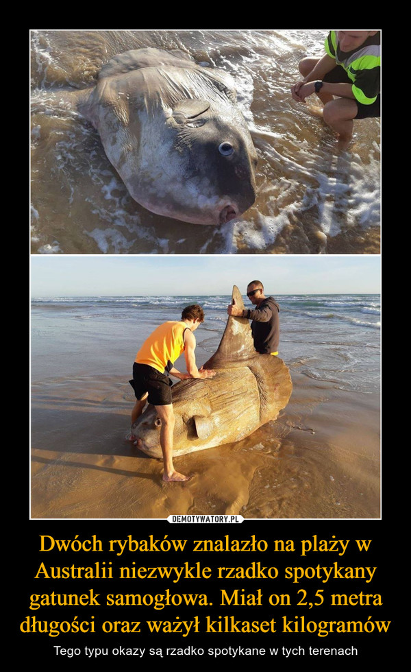 Dwóch rybaków znalazło na plaży w Australii niezwykle rzadko spotykany gatunek samogłowa. Miał on 2,5 metra długości oraz ważył kilkaset kilogramów – Tego typu okazy są rzadko spotykane w tych terenach