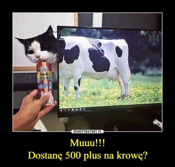 Muuu!!!Dostanę 500 plus na krowę? –