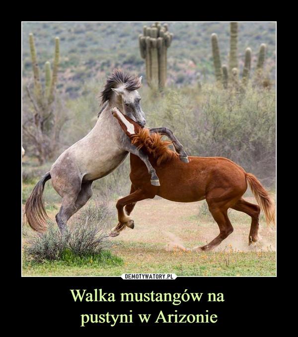 Walka mustangów na pustyni w Arizonie –