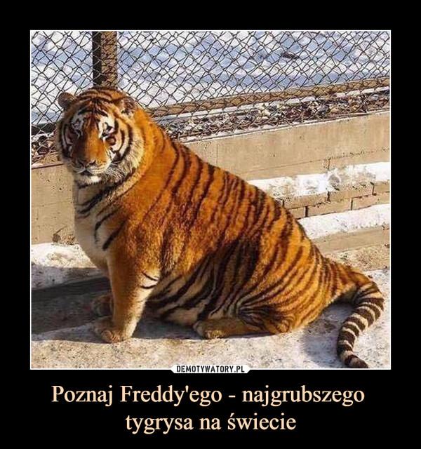 Poznaj Freddy'ego - najgrubszego tygrysa na świecie –