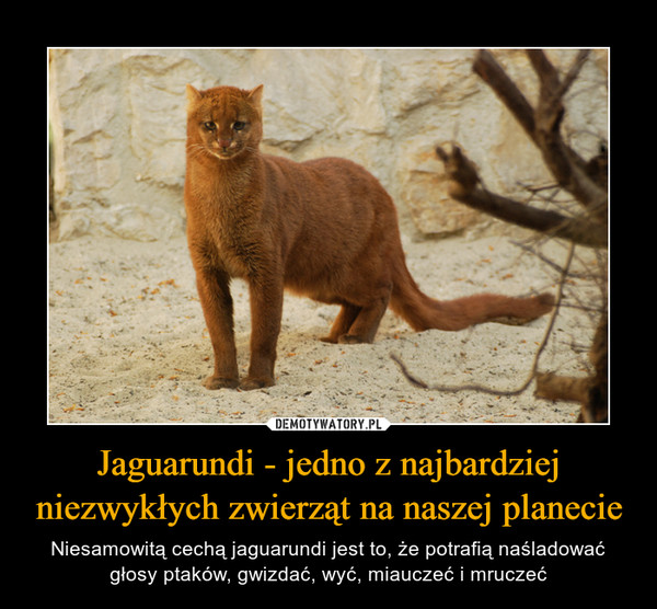 Jaguarundi - jedno z najbardziej niezwykłych zwierząt na naszej planecie – Niesamowitą cechą jaguarundi jest to, że potrafią naśladować głosy ptaków, gwizdać, wyć, miauczeć i mruczeć