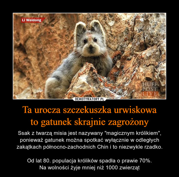 """Ta urocza szczekuszka urwiskowato gatunek skrajnie zagrożony – Ssak z twarzą misia jest nazywany """"magicznym królikiem"""", ponieważ gatunek można spotkać wyłącznie w odległych zakątkach północno-zachodnich Chin i to niezwykle rzadko.Od lat 80. populacja królików spadła o prawie 70%.Na wolności żyje mniej niż 1000 zwierząt"""