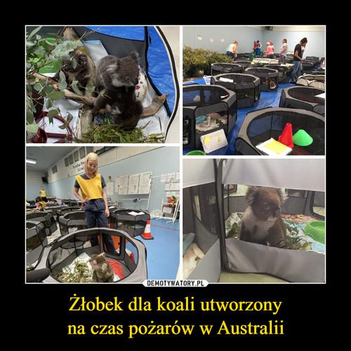 Żłobek dla koali utworzony na czas pożarów w Australii