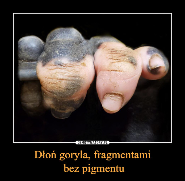 Dłoń goryla, fragmentami bez pigmentu –