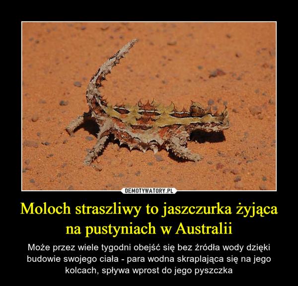 Moloch straszliwy to jaszczurka żyjąca na pustyniach w Australii – Może przez wiele tygodni obejść się bez źródła wody dzięki budowie swojego ciała - para wodna skraplająca się na jego kolcach, spływa wprost do jego pyszczka