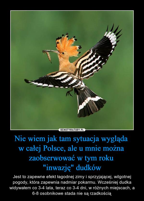 """Nie wiem jak tam sytuacja wygląda w całej Polsce, ale u mnie można zaobserwować w tym roku """"inwazję"""" dudków – Jest to zapewne efekt łagodnej zimy i sprzyjającej, wilgotnej pogody, która zapewnia nadmiar pokarmu. Wcześniej dudka widywałem co 3-4 lata, teraz co 3-4 dni, w różnych miejscach, a 6-8 osobnikowe stada nie są rzadkością"""