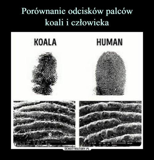Porównanie odcisków palców koali i człowieka