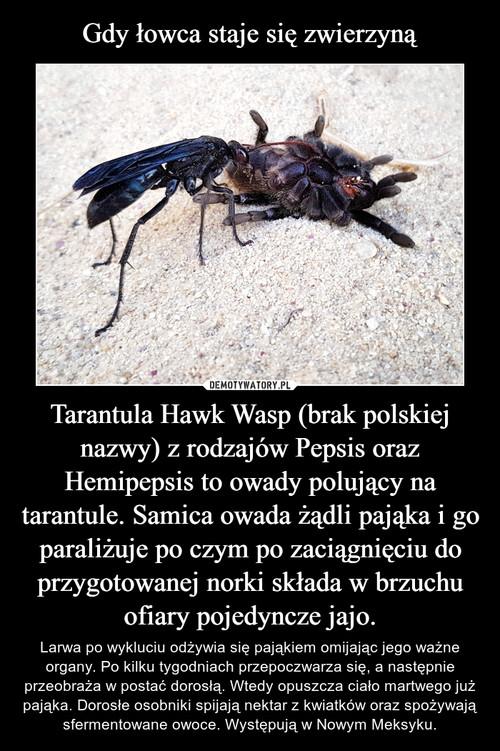 Gdy łowca staje się zwierzyną Tarantula Hawk Wasp (brak polskiej nazwy) z rodzajów Pepsis oraz Hemipepsis to owady polujący na tarantule. Samica owada żądli pająka i go paraliżuje po czym po zaciągnięciu do przygotowanej norki składa w brzuchu ofiary pojedyncze jajo.