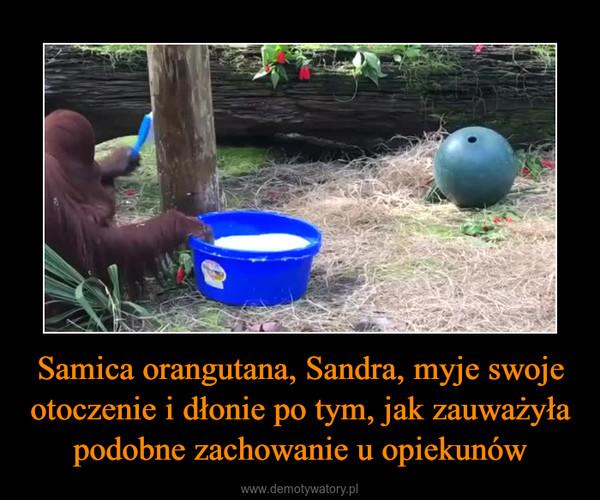 Samica orangutana, Sandra, myje swoje otoczenie i dłonie po tym, jak zauważyła podobne zachowanie u opiekunów –
