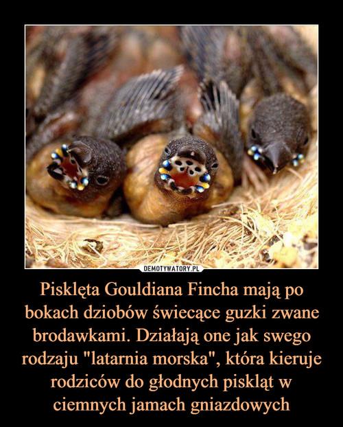 """Pisklęta Gouldiana Fincha mają po bokach dziobów świecące guzki zwane brodawkami. Działają one jak swego rodzaju """"latarnia morska"""", która kieruje rodziców do głodnych piskląt w ciemnych jamach gniazdowych"""