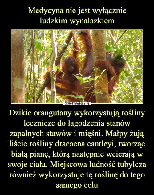 Medycyna nie jest wyłącznie ludzkim wynalazkiem Dzikie orangutany wykorzystują rośliny lecznicze do łagodzenia stanów zapalnych stawów i mięśni. Małpy żują liście rośliny dracaena cantleyi, tworząc białą pianę, którą następnie wcierają w swoje ciała. Miejscowa ludność tubylcza również wykorzystuje tę roślinę do tego samego celu
