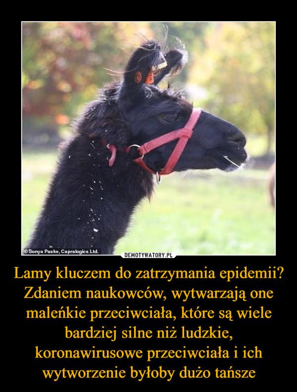 Lamy kluczem do zatrzymania epidemii? Zdaniem naukowców, wytwarzają one maleńkie przeciwciała, które są wiele bardziej silne niż ludzkie, koronawirusowe przeciwciała i ich wytworzenie byłoby dużo tańsze –