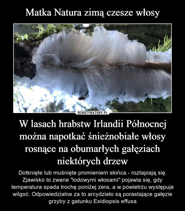 """W lasach hrabstw Irlandii Północnej można napotkać śnieżnobiałe włosy rosnące na obumarłych gałęziach niektórych drzew – Dotknięte lub muśnięte promieniem słońca - roztapiają się. Zjawisko to zwane """"lodowymi włosami"""" pojawia się, gdy temperatura spada trochę poniżej zera, a w powietrzu występuje wilgoć. Odpowiedzialne za to arcydzieło są porastające gałęzie grzyby z gatunku Exidiopsis effusa"""