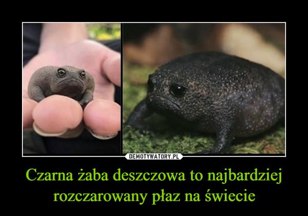 Czarna żaba deszczowa to najbardziej rozczarowany płaz na świecie –