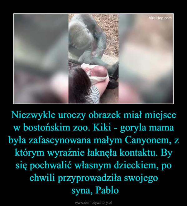 Niezwykle uroczy obrazek miał miejsce w bostońskim zoo. Kiki - goryla mama była zafascynowana małym Canyonem, z którym wyraźnie łaknęła kontaktu. By się pochwalić własnym dzieckiem, po chwili przyprowadziła swojego syna, Pablo –