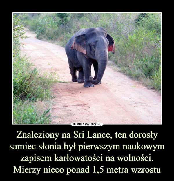 Znaleziony na Sri Lance, ten dorosły samiec słonia był pierwszym naukowym zapisem karłowatości na wolności. Mierzy nieco ponad 1,5 metra wzrostu –