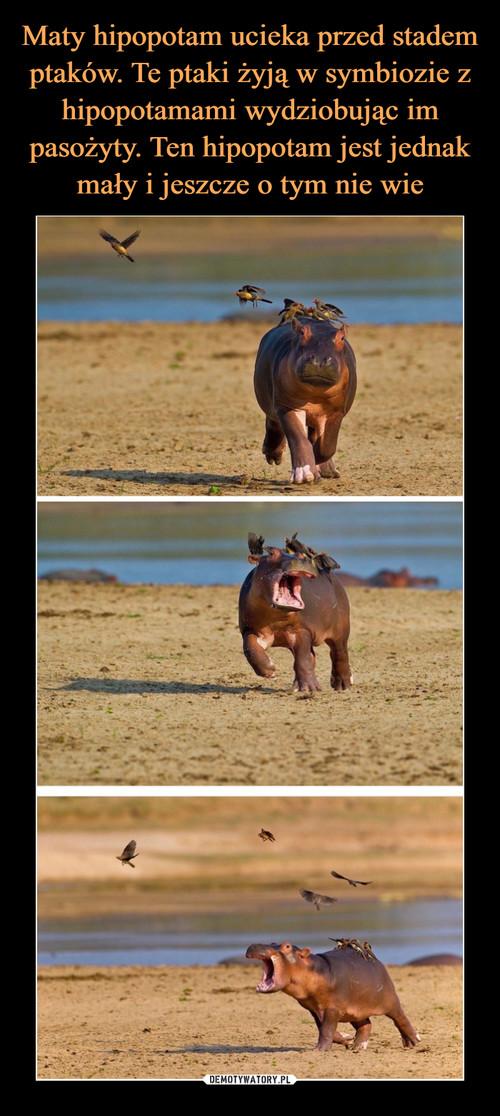 Maty hipopotam ucieka przed stadem ptaków. Te ptaki żyją w symbiozie z hipopotamami wydziobując im pasożyty. Ten hipopotam jest jednak mały i jeszcze o tym nie wie