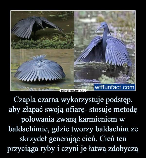 Czapla czarna wykorzystuje podstęp, aby złapać swoją ofiarę- stosuje metodę polowania zwaną karmieniem w baldachimie, gdzie tworzy baldachim ze skrzydeł generując cień. Cień ten przyciąga ryby i czyni je łatwą zdobyczą