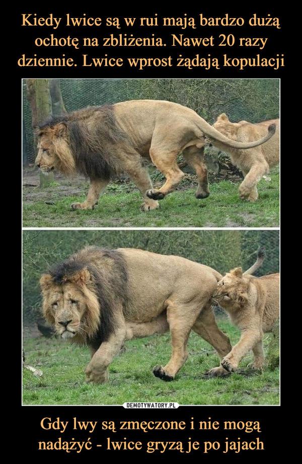 Gdy lwy są zmęczone i nie mogą nadążyć - lwice gryzą je po jajach –