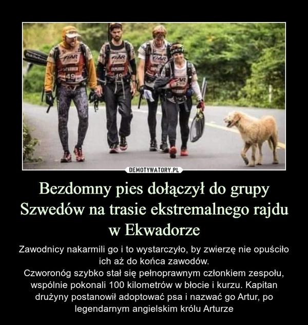 Bezdomny pies dołączył do grupy Szwedów na trasie ekstremalnego rajdu w Ekwadorze – Zawodnicy nakarmili go i to wystarczyło, by zwierzę nie opuściło ich aż do końca zawodów.Czworonóg szybko stał się pełnoprawnym członkiem zespołu, wspólnie pokonali 100 kilometrów w błocie i kurzu. Kapitan drużyny postanowił adoptować psa i nazwać go Artur, po legendarnym angielskim królu Arturze