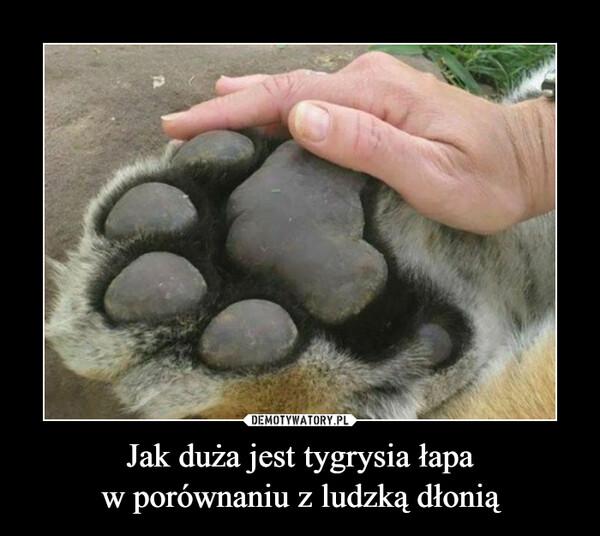 Jak duża jest tygrysia łapa w porównaniu z ludzką dłonią