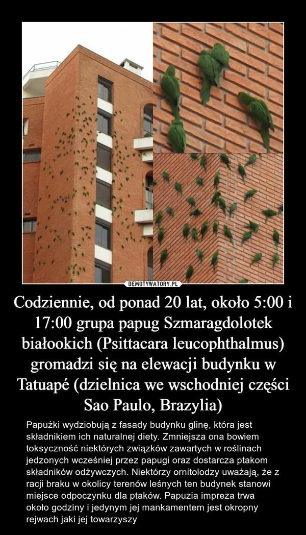 Codziennie, od ponad 20 lat, około 5:00 i 17:00 grupa papug Szmaragdolotek białookich (Psittacara leucophthalmus) gromadzi się na elewacji budynku w Tatuapé (dzielnica we wschodniej części Sao Paulo, Brazylia) – Papużki wydziobują z fasady budynku glinę, która jest składnikiem ich naturalnej diety. Zmniejsza ona bowiem toksyczność niektórych związków zawartych w roślinach jedzonych wcześniej przez papugi oraz dostarcza ptakom składników odżywczych. Niektórzy ornitolodzy uważają, że z racji braku w okolicy terenów leśnych ten budynek stanowi miejsce odpoczynku dla ptaków. Papuzia impreza trwa około godziny i jedynym jej mankamentem jest okropny rejwach jaki jej towarzyszy