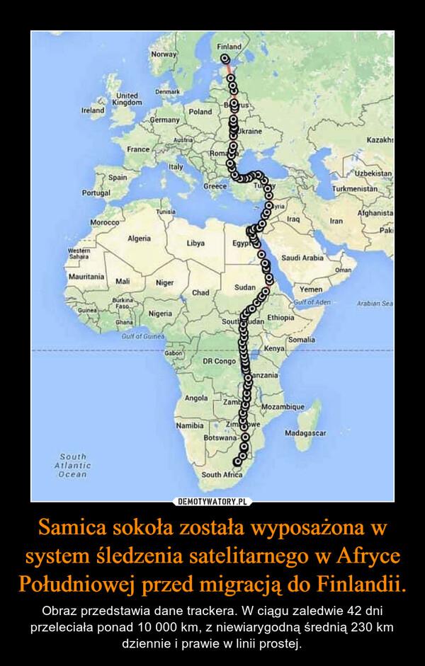 Samica sokoła została wyposażona w system śledzenia satelitarnego w Afryce Południowej przed migracją do Finlandii. – Obraz przedstawia dane trackera. W ciągu zaledwie 42 dni przeleciała ponad 10 000 km, z niewiarygodną średnią 230 km dziennie i prawie w linii prostej.